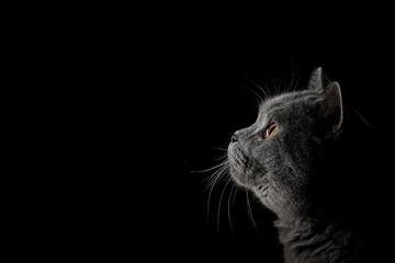 Britisch Kurzhaar Katze Porträt Fototapete