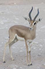 Dorcas Gazelle, Arabian Sand, Goitered Gazelle, antelope