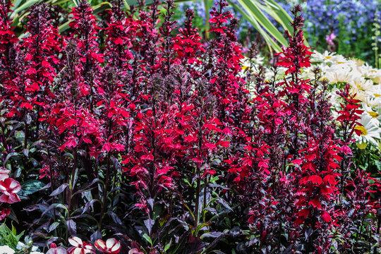 Red Lobelia Cardinalis spikes of scarlet, five-petalled flowers.