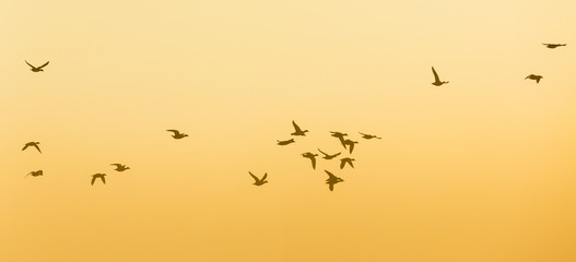 Geese Flock flying at sunrise in the sky