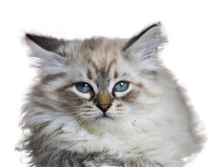 Cute little cat of siberian breed, siberian white neva  masquerade with blue eyes