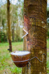 Milky latex extracted from rubber tree Hevea Brasiliensis as a source of natural rubber