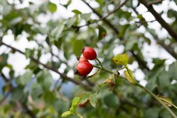 Rosehip fruit on the tree. Slovakia