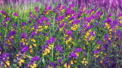 Melampyrum Nemorosum Flowers Blossom