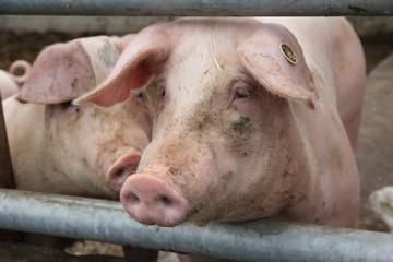 Schweine aus biologischer Landwirtschaft