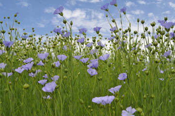 Flowering flax on background of blue sky
