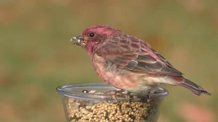 Fotoväggar - Male Purple Finch (Carpodacus purpureus) perched on a feeder with a green background