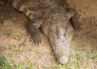 a crocodile on the grass ,Fresh water crocodile