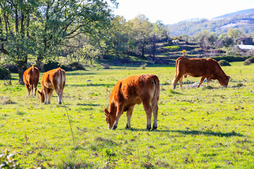 Cows on a summer pasture.