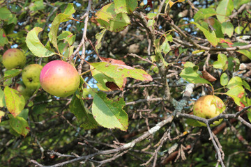 Apple tree with red and gold apples