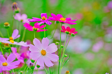 Beautifully blooming cosmos flowers in the autumn field.