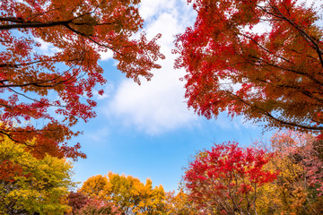 Autumn red maple leaves and blue sky.
