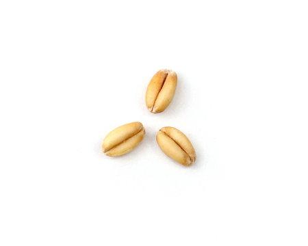 Three Wheat Grain Kernels on a White Background