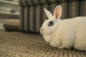 Blanc de Hotot House Rabbit on Carpet Against Background of Neutral Colored Sofa