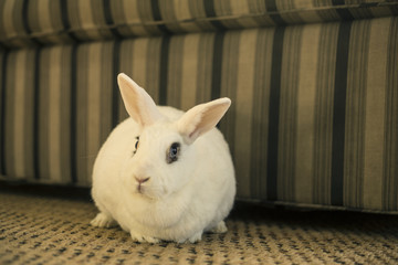 Front View of Blanc de Hotot House Rabbit on Carpet Against Background of Neutral Colored Sofa