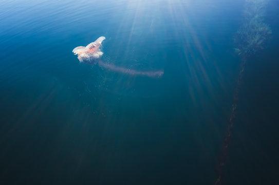 Lions Mane Jellyfish or Cyanea capillata