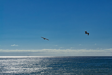 Pelicans on the wing