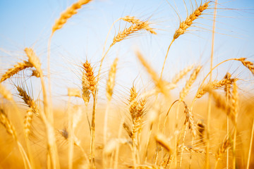 Image of ripe wheat in field