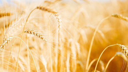 Image of wheat crop on defocused background