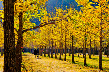 Autumn is beautiful in Hongcheon ginkgo forest.