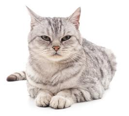 The gray cat.