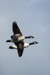 Canada Goose, Goose, Branta Canadensis