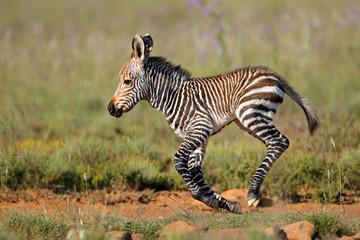 Aluminium Prints Zebra Cape mountain zebra (Equus zebra) foal running, Mountain Zebra National Park, South Africa.