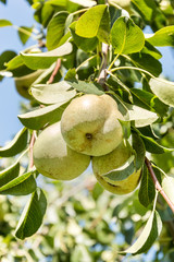 Harvest of pears on a branch of a pears tree.