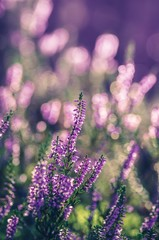 Heather flowers, blooming in sunlight