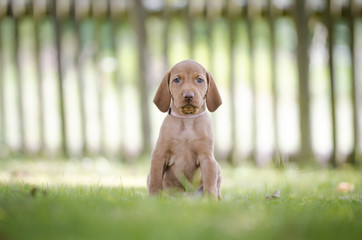 5 week old puppies of vizsla hound dog