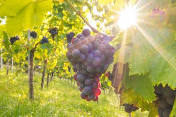 Rote Weintrauben am Rebstock im herbstlichen Gegenlicht