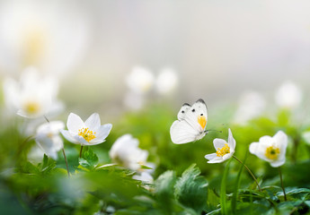 Beautiful spring pattern background with white butterfly and flowers anemones on nature. Delicate elegant dreamy airy artistic image harmony of nature,  spring wallpaper.