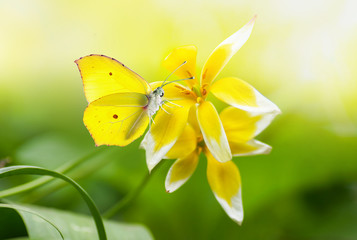 Bright beautiful yellow butterfly on an exotic flower on a green background in nature spring in summer outdoors close-up macro. Colorful amazing splendid best artistic image harmony of nature.