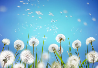 Nature floral border template. Airy glowing dandelions flying in wind with soft focus on sun morning outdoors macro. Romantic tender dreamy artistic image, light blue background sky, spring wallpaper.