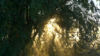 Wall Mural - Sun rays shining through the leaves and branches. Foggy morning.