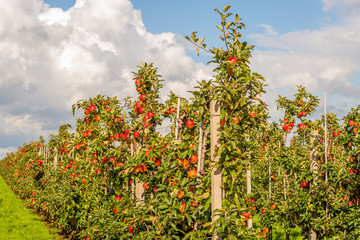 Many harvest ripe Elstar apples in a Dutch orchard