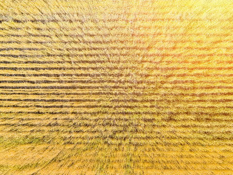 wheat field top view, aerial shoot
