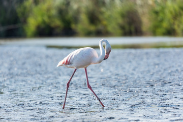 Pink flamingo, Camargue, France