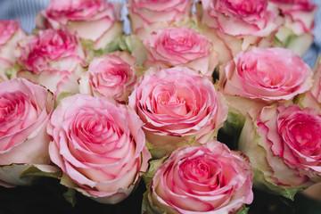beautiful pink roses buds close up