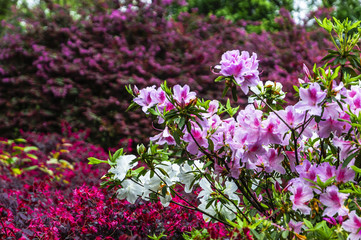 Spoed Foto op Canvas Azalea The azalea flowers is blossoming in spring
