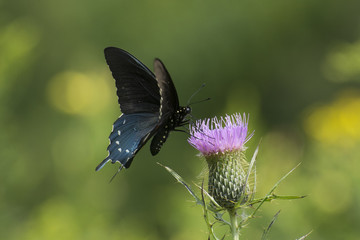 Butterfly 2017-119 / Black Swallowtail on thistle in a meadow