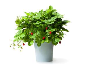 Alpine  strawberry plant in metallic bucket isolated on white
