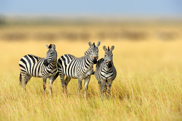 Aluminium Prints Zebra Zebra in the grass nature habitat, National Park of Kenya