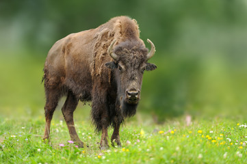 Poster Bison European bison in the summer meadow