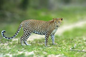 Wall Mural - Walking Sri Lankan leopard, Big spotted wild cat lying in the nature habitat, Yala national park, Sri Lanka.