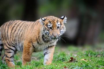 Wall Mural - Siberian tigris in beautiful habitat