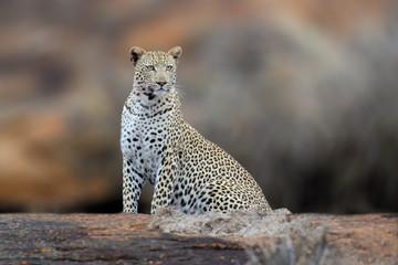 Wall Mural - African Leopard, National Park of Kenya