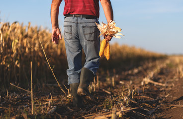 Rear view of senior farmer walking in corn field and examining crop before harvesting.