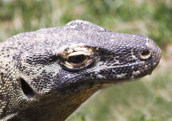 A Close Up of a Komodo Dragon