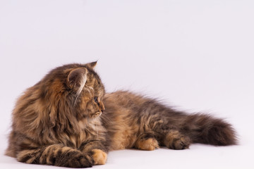 persian long haired cat. cute persian kitten pictures.
